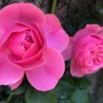 君は薔薇より美しい🌹